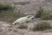 Grey Seal Pup with umbilical cord — Stock Photo