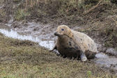 Pregnant Grey Seal Cow — Stock Photo