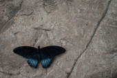 Great Mormon Butterfly — Stock Photo