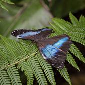 Achilles Morpho Butterfly — Stock Photo