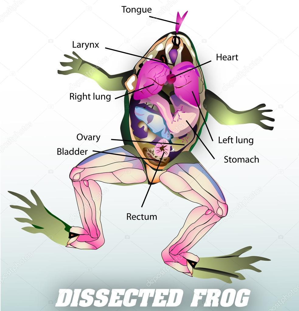 Frog anatomy diagram