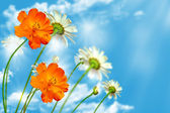 Daisy flowers on blue sky background — Stock Photo