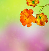 Summer landscape with branches of cosmos flowers — Stock Photo