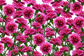 Background of flowers carnation — Stock Photo
