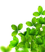 Leaf clover on white background — Stock Photo