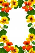Frame of autumn flowers nasturtium — Stock Photo