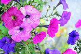 Morning Glory flowers — Stock Photo