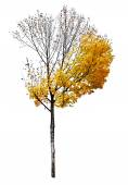 árbol de arce aislado sobre fondo blanco — Foto de Stock