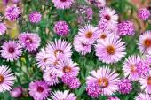 Chrysanthemum flowers — Stock Photo
