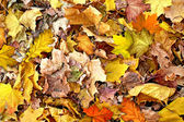 Abstract background of autumn leaves of maple — Foto de Stock