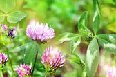 Blooming clover — Stock Photo