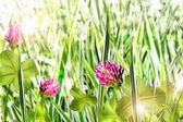 цветущий клевер — Стоковое фото
