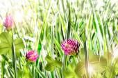 Blooming clover — Zdjęcie stockowe