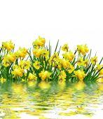 Yellow flowers daffodils — Stock Photo