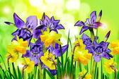 Flowers irises. narcissus — Stock Photo