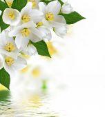 flowers jasmine — Stock Photo
