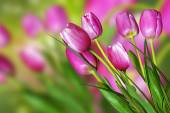 Pink and yellow flowers tulips and daffodils — Foto de Stock