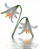 Fleurs de lys isolés sur fond blanc — Photo