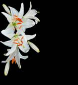 White lily flower on a black background — Stock Photo