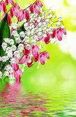 Pink bleeding heart flower — Стоковое фото