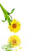 Daisy flower isolated on white background — Stock Photo