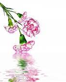 Carnation flowers isolated on white background — Stock Photo