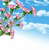 Carnation flowers on a background of blue sky with clouds — Stock Photo