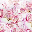 Abstract background of flowers carnation — Stock Photo #64311487