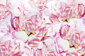Abstract background of flowers carnation — Stock Photo