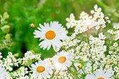 Summer landscape. Wildflowers daisies — Stock Photo