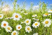Kwiaty stokrotki — Zdjęcie stockowe