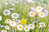 Summer landscape. Chamomile flowers and dandelions — Foto de Stock
