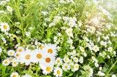 Wildflowers daisies — Foto de Stock