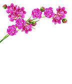 Flores de peonía aisladas sobre fondo blanco — Foto de Stock