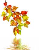 Осенние листья березы, изолированные на белом фоне — Стоковое фото