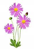 Chrysanthemum isolated on white background — Stock Photo