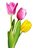 Flowers, tulips — Stock Photo