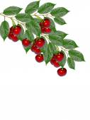 Branch of berries cherries with leaves isolated on white backgro — Stock Photo