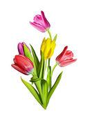 Fleurs de printemps tulipes isolés sur fond blanc — Photo
