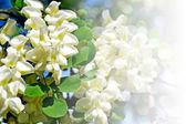 Summer landscape. bush blooming acacia — Stock Photo