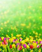 Spring flowers daffodils and tulips — Stock Photo
