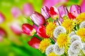 Pink flowers tulips. dandelions — Stock Photo