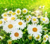 Květy sedmikrásky — Stock fotografie