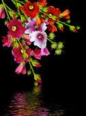 黒の背景に分離されたゼニアオイ花 — ストック写真