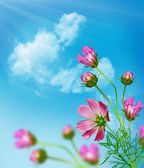 Cosmos flowers on a background of blue sky with clouds — Stock Photo