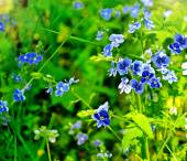 Summer landscape. flowers forget-me — Stock Photo