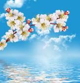 Oddział kwitnienia moreli — Zdjęcie stockowe