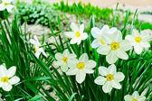 Sommerlandschaft. Blumen-Narzissen — Stockfoto