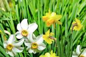 Summer landscape. flowers daffodils — Stock Photo