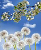 Branch of the cherry blossoms against the blue sky with clouds — Stock Photo